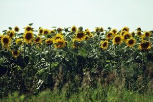 sunflower-sky